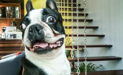 びっくりしてこちらを見つめる犬