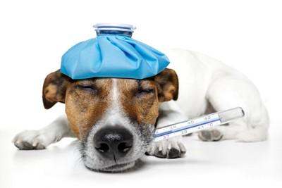 氷嚢と体温計を使う病気の犬