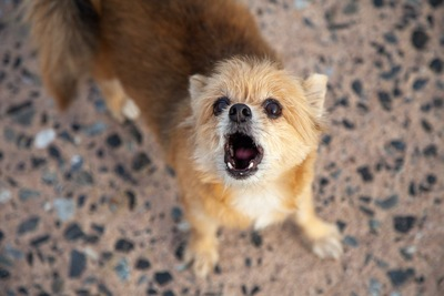 こちらを見上げて吠えている犬