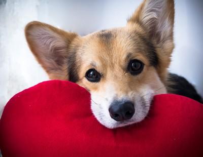 フィラリアの治療をしている犬