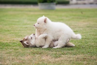 芝生の上でじゃれ合うシベリアンハスキーの子犬たち