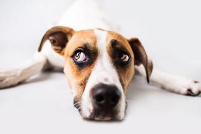 手を広げて伏せ、目で確認する犬