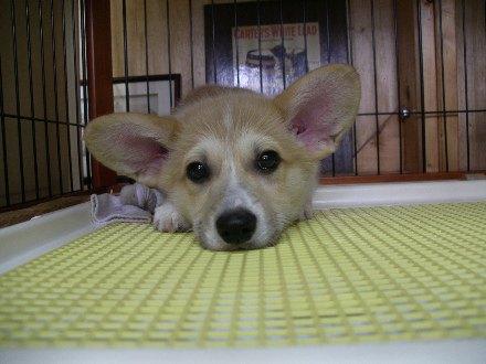 コーギーの子犬ジンちゃん