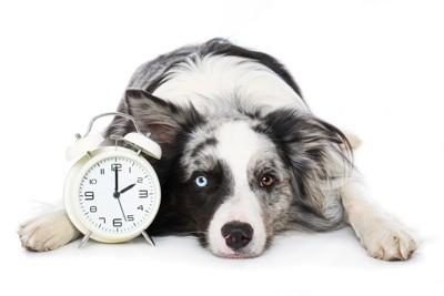 時計を抱える犬