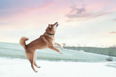 ジャンプする柴犬