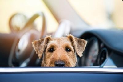 車の中からこちらを見ている犬