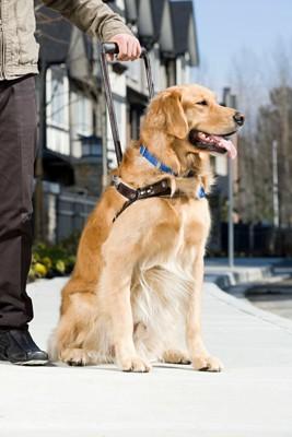男性と座って待つ盲導犬、ゴールデン