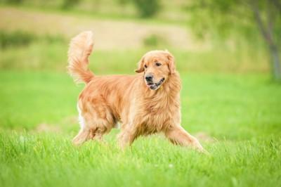 芝生を走るゴールデンレトリーバー