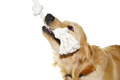ロープをくわえて遊ぶ犬
