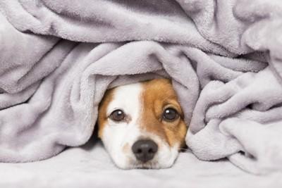 布団の中からこちらを見ている犬