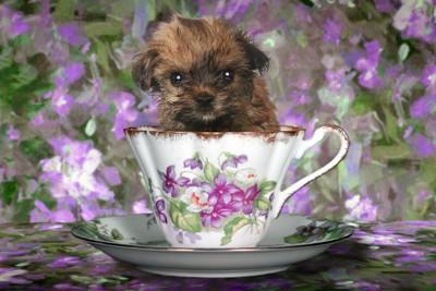 ティーカップに入る犬