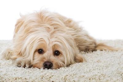 ふかふかのラグの上に伏せる犬