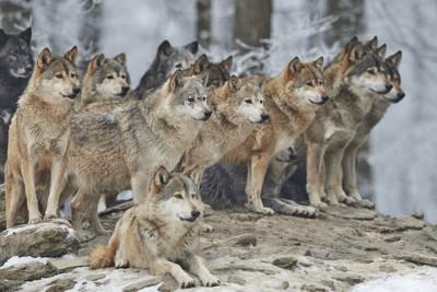 群れで行動する狼たち