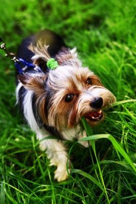 散歩中に草を食べる犬