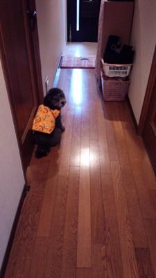 ちゃんちゃんこを着る犬