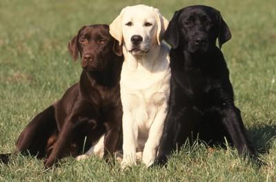 寄り沿って座る三匹のラブラドールレトリバー