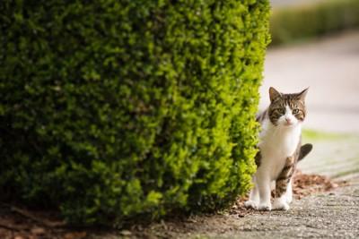 植え込みの陰にいる猫