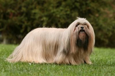 芝生の上にいる犬