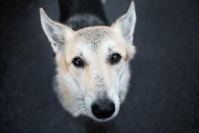 見上げる犬、暗い背景