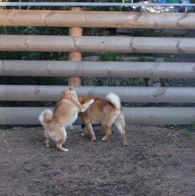 2匹で遊ぶ柴犬