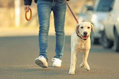 飼い主と散歩中のラブラドールレトリバー