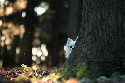 木の裏からこちらを覗くチワワ