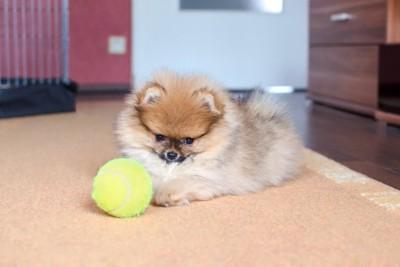 テニスボールとポメプー