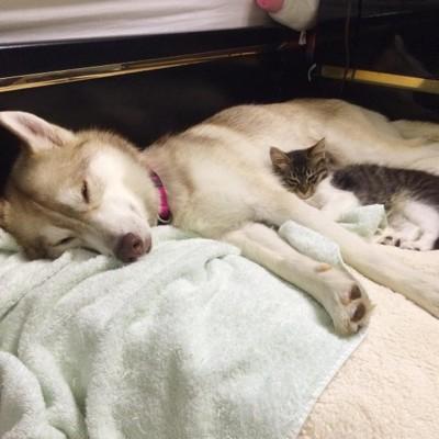 ハスキーを枕に眠る猫