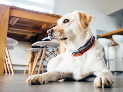 床の上で伏せをしている白い犬の写真