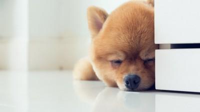床に伏せて眠っているポメラニアン
