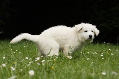 外で排泄中の白い子犬