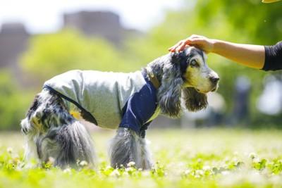 散歩中に飼い主に頭を撫でられている老犬