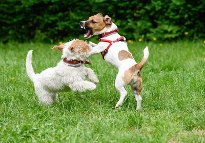 ドッグランで喧嘩している二匹の犬
