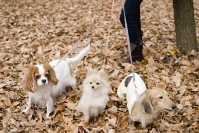 落ち葉の上を散歩する三頭の小型犬