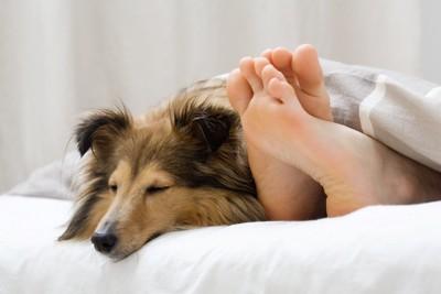 ベッドで眠る人の足とシェルティ