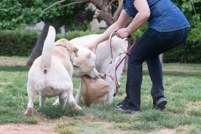 喧嘩をする二頭の犬と止める人