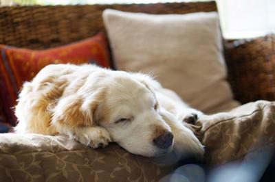 ソファーで眠るゴールデンリトリバーの老犬