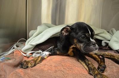 ピンクの毛布でふせする犬