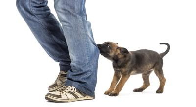 人のズボンを噛んでいる犬