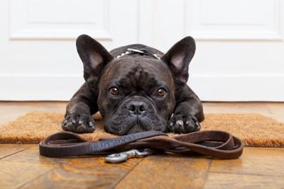 リードの前に伏せて散歩を待っている犬