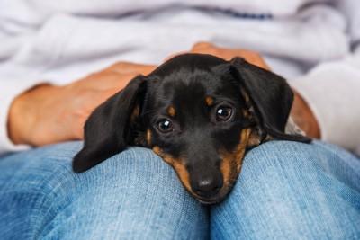飼い主のひざの上で眠そうなダックスフンドの子犬