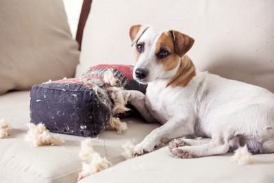 クッションの綿を出している犬