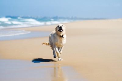 砂浜を走るゴールデンレトリバー