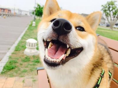 ベンチの上で笑顔の柴犬