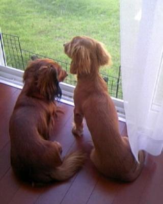後ろ姿の先輩犬と後輩犬