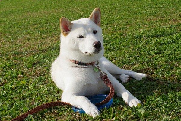リードをされている白い犬