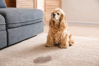 カーペットのおしっこと座る犬