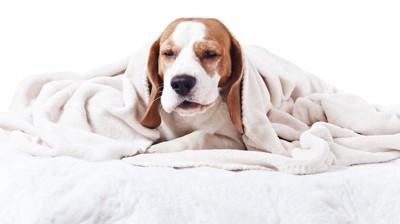毛布をかぶって眠そうなビーグル犬