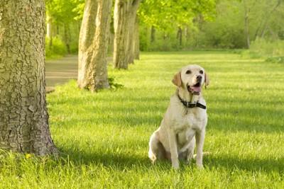草原で座るラブラドール