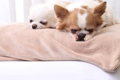 布団の上で寝る2匹のチワワ